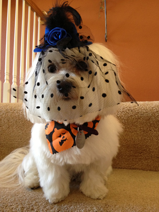 Bella the Maltese photo in Halloween hat