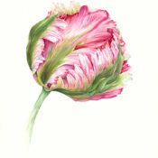 Photo of watercolor Parrot Tulip